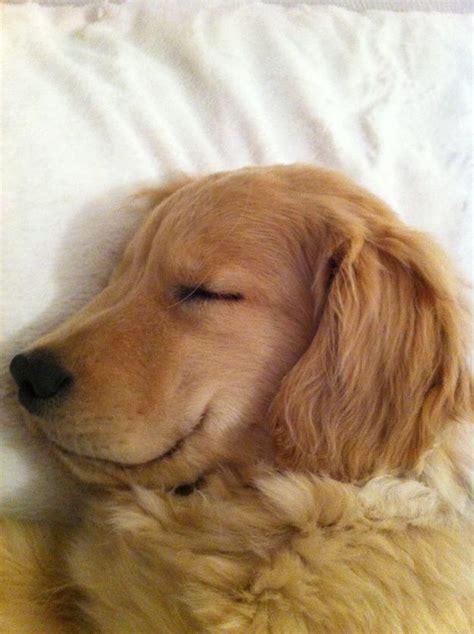 blind golden retriever charles the blind golden retriever puppy