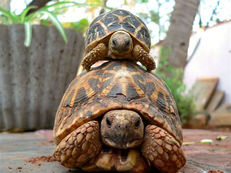 6 Reasons To Get A Tortoise by How To Your Hibernating Pet Tortoise