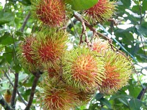 tropical fruit trees houston rambutan tree rambutan fruit tropical fruits tropical