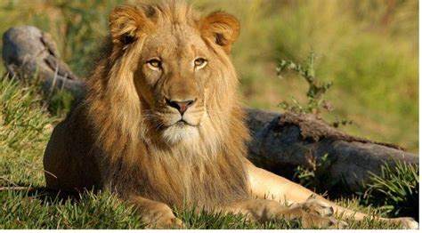 hd wallpapers for laptop lion lion hd wallpapers download hd wallpaper