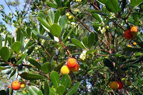 fruit flowers arbousier arbutus plantation taille et conseils d