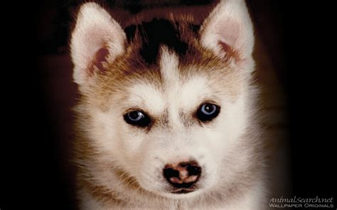 puppy huskies husky puppy puppies wallpaper 13985177 fanpop