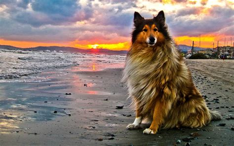 puppy at collie at the sunset photo and wallpaper beautiful collie at the