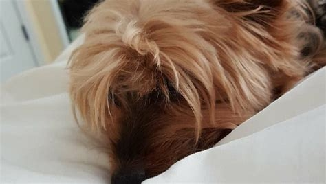 worlds largest yorkie 8 ways my small acts like the in the world dogtime