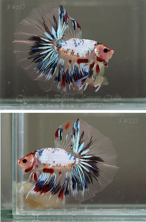 what is it called when your change color 17 best images about fish on betta fish tank