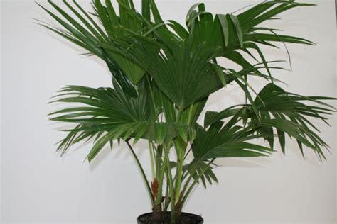 Alpha Botanical Fan Palm Plant Care Profile