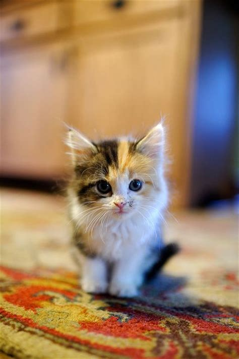 best 25 calico cat names ideas on pinterest beautiful cats calico cats and cats