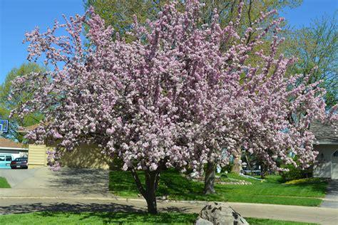 ornamental trees for zone 4 myideasbedroom com