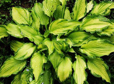foto bagnate hosta della pianta con le foglie bagnate immagine stock