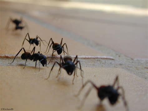 comment se d饕arrasser des fourmis dans une cuisine les fourmis centerblog