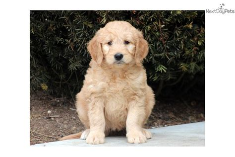 goldendoodle puppy names meet a goldendoodle puppy for sale for 750