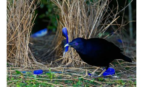 animal architects bowerbirds design build showy