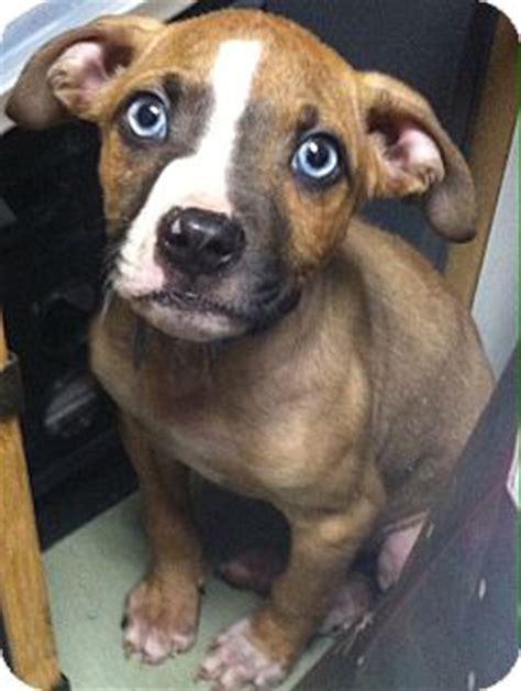boxer puppies mn blue adopted puppy prairie mn boxer labrador retriever mix