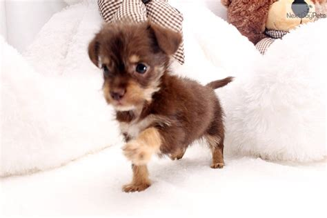 puppies for sale chico ca chico chorkie puppy for sale near los angeles california 7d8c9d14 03f1
