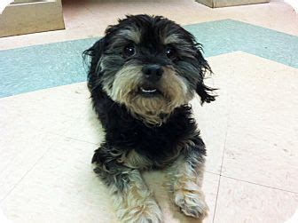 yorkie and miniature poodle mix snickers 2yr adopted adopted 23592606 mentor oh yorkie terrier