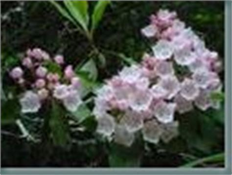 yardiac com outdoor living and gardening blog powered by garden com pruning your mountain laurel