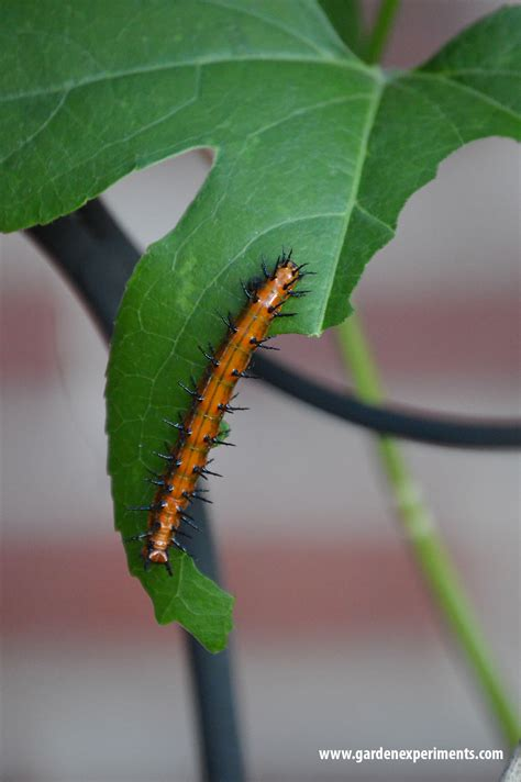 Where To Find Caterpillars In Your Backyard a home for gulf fritillary butterflies in my garden