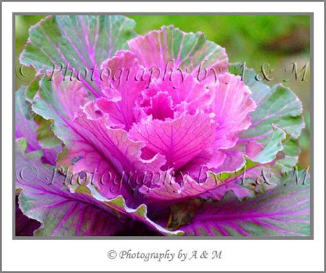 Cabbages Roses New Website by Purple Cabbage 169 Photography By A M All Rights