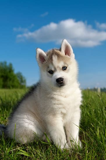 how to take care of a husky puppy siberian husky puppy grooming