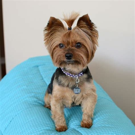 yorkie hair cut chart morkie haircuts related keywords suggestions morkie