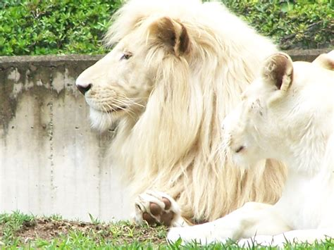 imagenes leon blanco fotos wallpaper de tigres y leones blancos y mas taringa