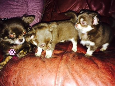 puppies for sale in plymouth chihuahua puppies plymouth pets4homes