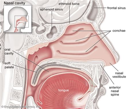 anatomy of human nose nose human anatomy organs template baldaivirtuves info nose anatomy britannica