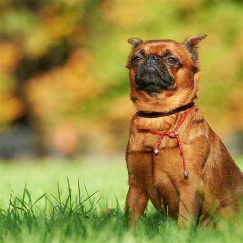brussel griffon puppies for sale brussels griffon puppies for sale