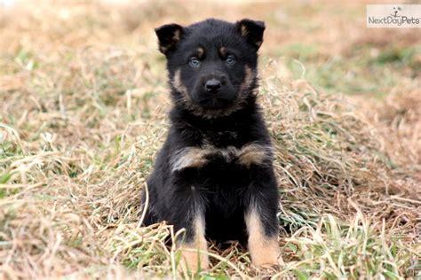 german pinscher puppies for sale german pinscher puppy for sale near lancaster pennsylvania 1f9a546a 2441