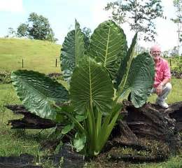 elephant ear plants from classic caladiums