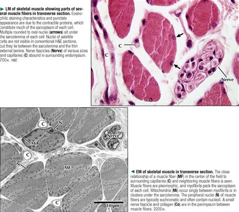 transverse section of skeletal muscle muscle tissue basicmedical key