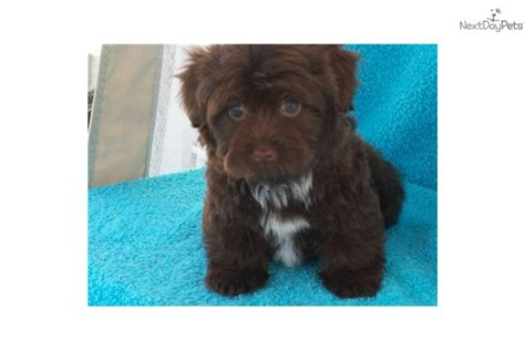 chocolate havanese puppies for sale in ohio havanese puppy for sale near columbus ohio cdcbb0d0 7561