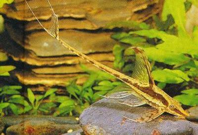 Pembersih Algae Algae Eater Untuk Aquarium Aquascape aquascape design hewan pemakan algae untuk aquascape