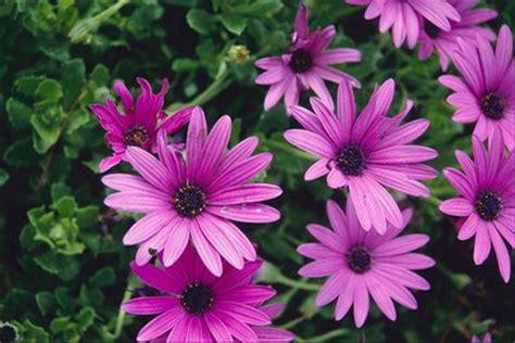 imagenes uñas decoradas moradas pink margaridas gt lindas flores gt flores gt natureza