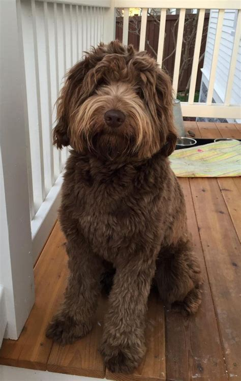mini goldendoodles midwest best 25 chocolate labradoodle ideas on