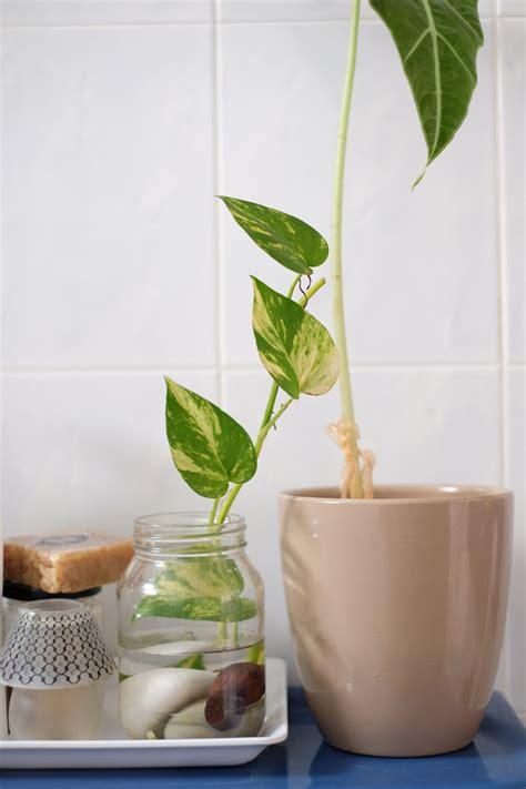 money plant in bathroom diy money plant in glass bottle jewelpie