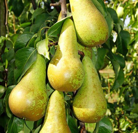 birnen kaufen birne abate fetel buschbaum kaufen im pflanzen