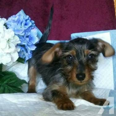 yorkie poo for sale in va beautiful ckc yorkie poo puppy for sale 17 weeks for sale in stuarts draft
