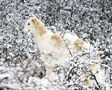 june 2012 dogs wallpapers backgrounds borzoi dog wallpapers animals library