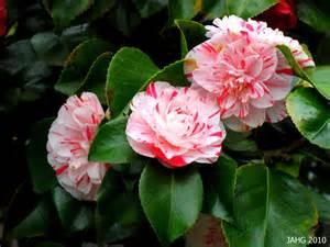 camellia x williamsii donation name that plant