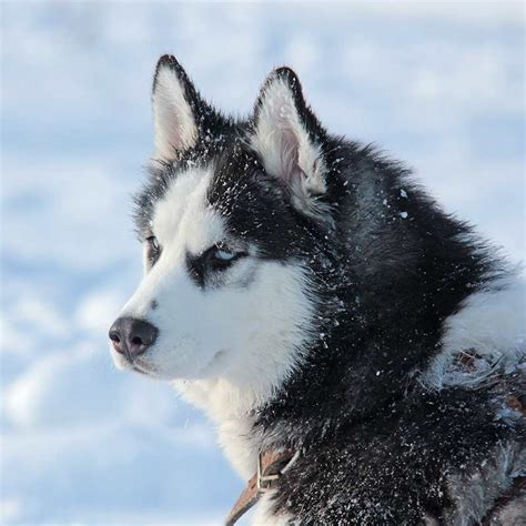 snow dogs names snow dogs 37 animals