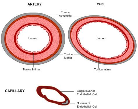 school cross section of an artery vein and