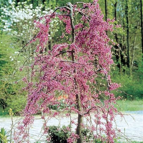 pink heartbreaker cercis canadensis redbud tree plants pinterest pink and trees