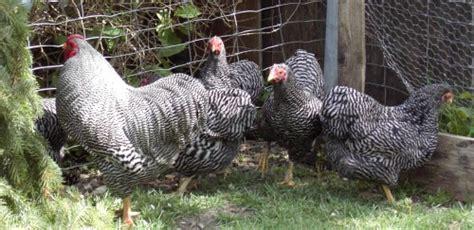 hühnerhaltung im garten h 252 hner im eigenen garten halten kleintierhaltung