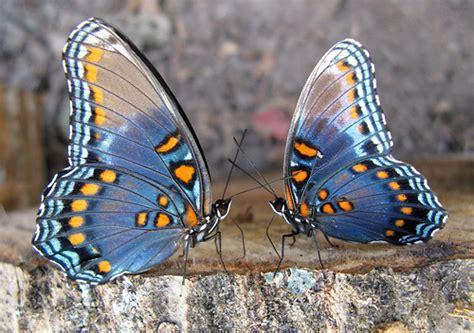 imagenes de dos mariposas juntas butterfly farm