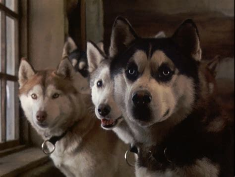 from snow dogs from snow dogs siberian huskies photo 32170995 fanpop