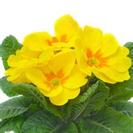 meaning of primroses what do primrose flowers mean