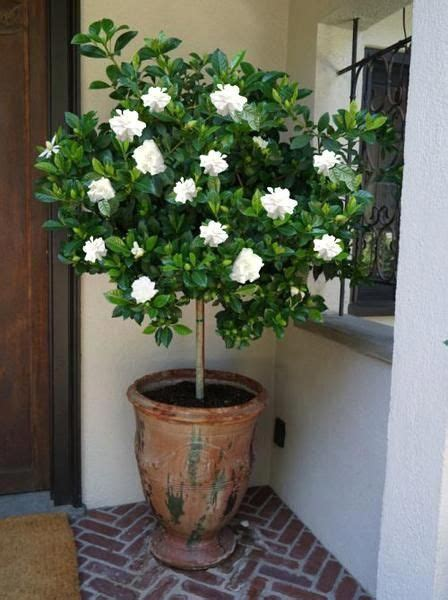 double blooming gardenia tree potted trees flower pots