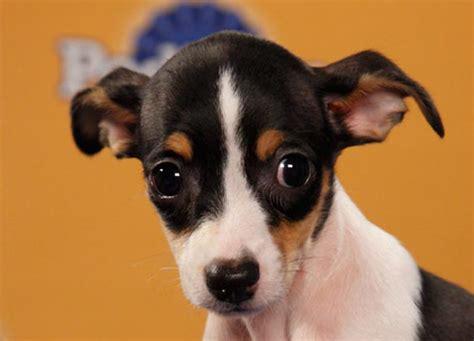 rat terrier puppy rat terrier info temperament puppies pictures