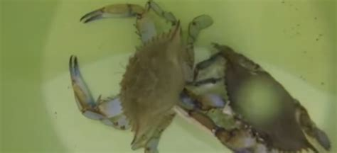 Do Crabs Shed Their Skin by Crab Shedding Its Shell